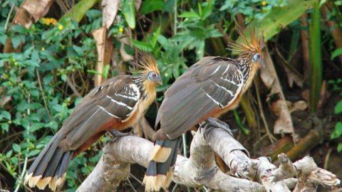 Hoatzin Bird Facts: 5 Reasons Why The Hoatzin Bird Is A Weirdo