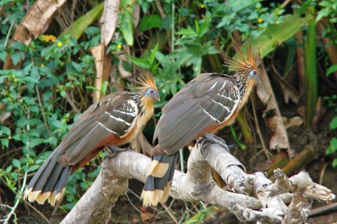 5 Reasons Why The Hoatzin Bird Is A Weirdo